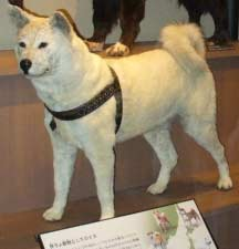 Release Of An American Remake Of The 1987 Japanese Film Hachiko Monogatari I Wanted To Recount This Beautiful Touching Tale Of A Dogs Loyalty To Its